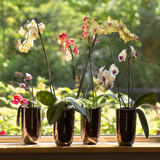 Moth Orchids in plantpots in window