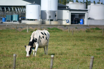 New Zealand Dairy Industry