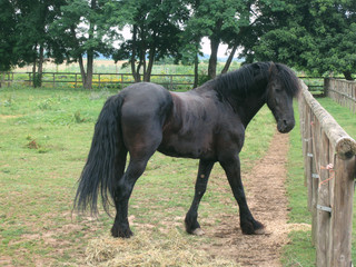 Black beauty horse