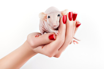 Rat on a hand.