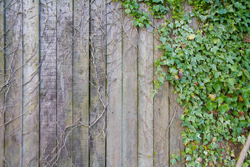 Ivy on wooden fence, dead and alive.