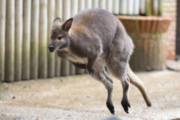 kangaroo while jumping
