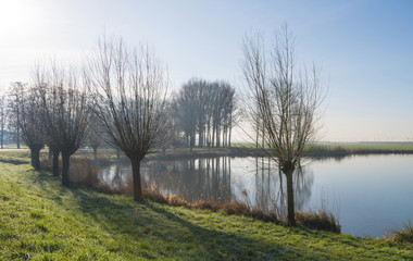 Pollard willows along the shore of a lake