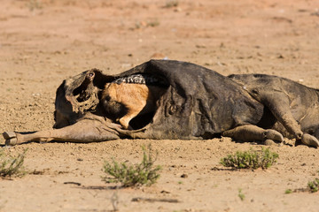 Hungry Black backed jackal eating on a hollow carcass in the des