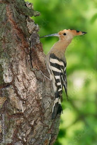 A hoopoe (Upupa epops) at nest site at a willow tree trunk