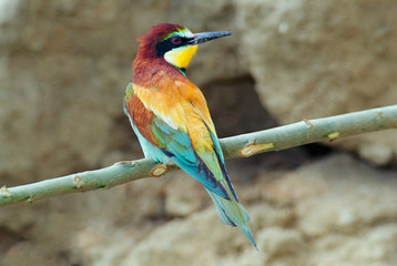 European bee-eater (Merops apiaster) on a branch backside