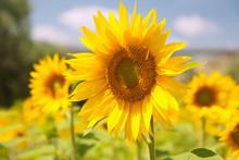 Abruzzen, Pineto, Sonnenblumenfeld