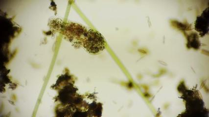 Mikroorganismus unter dem Mikroskop in Full HD