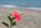 Hibiscus flower by the Beach