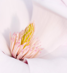 Flower Of A Magnolia Tree
