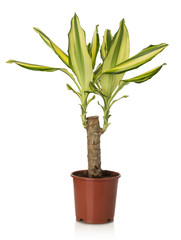 Home plant Dracaena Massangeana on white background