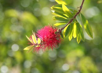 Pink Bottle Brush Tree Flower