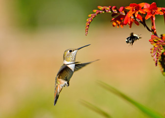 Rufous Hummingbird and Bumblebee eying on Crocosmia Flowers