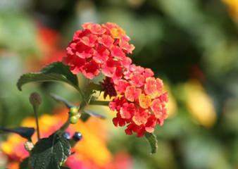 Red and Yellow Lantana flowers