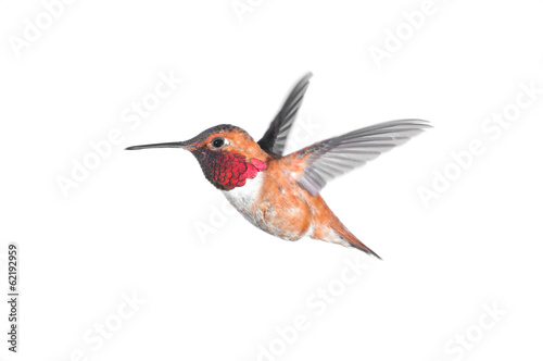 Rufous Hummingbird - Male.hite Background