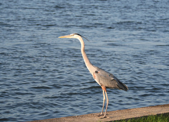 Heron Bird Standing by the Ocean