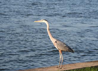 Heron Bird Standing by the Ocean