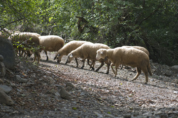 Number of sheep at watering near the river