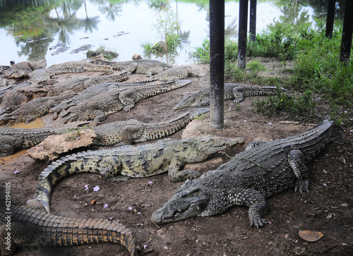 Cuban crocodile farm Poster