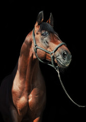 portrait of beautiful sportive  stallion at black background