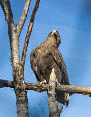 Wedge Tailed Eagle sitting on a tree