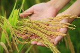 hand holding rice grain at field