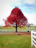 Autumn country landscape with big red maple tree
