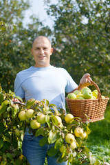 man gathers apples in  garden
