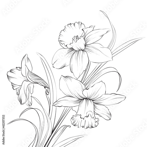 Daffodil flower or narcissus isolated on white.