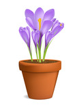 Crocuses in Flowerpot Vector Illustration Isolated on White
