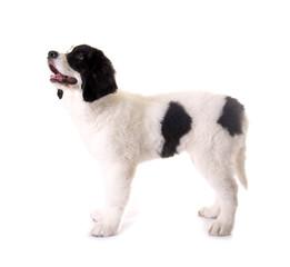 Hundewelpe seitlich