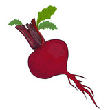 Beet isolated in vector
