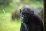 Ape chimpanzee monkey after a glass