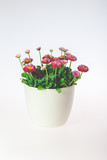 Daisies in a pot