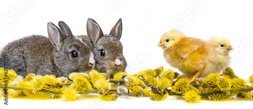 two little rabbits and chickens and spring flowering branch