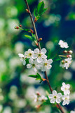 Blossoming tree brunch with white apple or cherry flowers