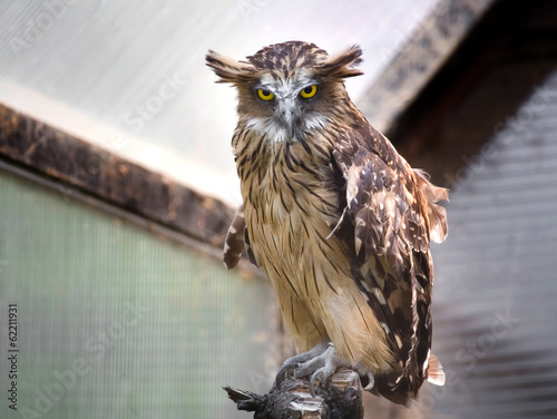 Buffty fish owl