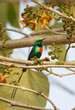 Male Beautiful Sunbird (Nectarinia pulchella)