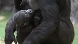 A gorilla female is breast feeding of her baby. DSLR, Canon 5d