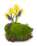 Moss, daffodils, muscaries  isolated on white