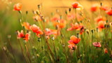 Poppies field. Shallow DOF