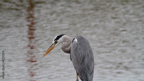 Grey Heron Close-up 2