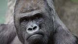 Facial gesture and face caring of a gorilla male. DSLR