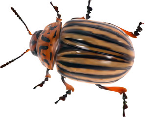 illustration with single colorado potato beetle