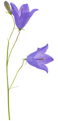 two blue campanula flowers and bud