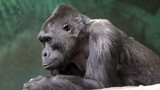 An old lying gorilla female is looking around. DSLR, Canon 5d.