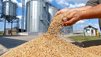 Wheat grain of successful farmer
