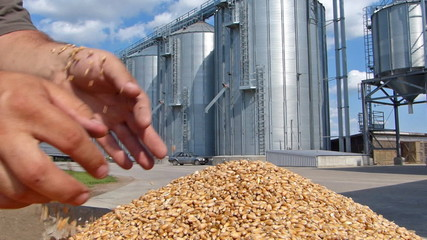 Wheat grain in a hand after good harvest