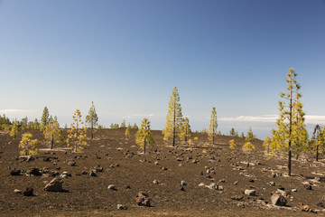 Pine forest in volcanic landscape