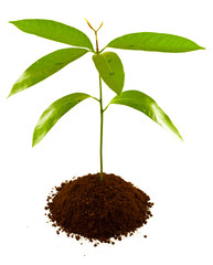 plant de manguier